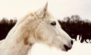 Pferdeschermaschine